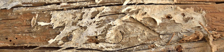 Gemeiner Hausschwamm - Holz- und Bautenschutz